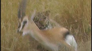 Unbelievable Leopard attack video - female leopard hunting its prey, it leaps from the long grass to attack and kill a gazelle on the Masai Mara in Kenya, Africa.Edited clip. See the full hunt and more safari footage at my Safaricam channel!