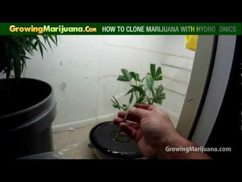 How To Clone Marijuana With Hydroponics