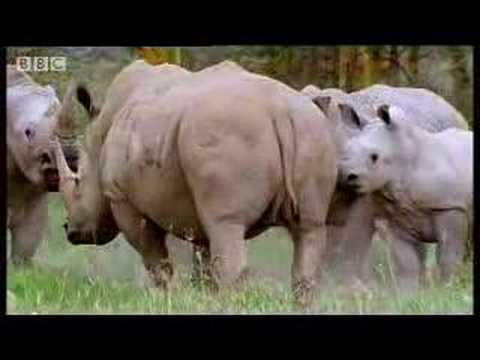 rhinos - Watch this wild young male rhinoceros as he attempts to find love at the watering hole. African animal mating rituals in the jungle.