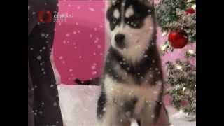 TV CENTAR: Insert iz Novogodišnje emisije DOLAZI NOVA SA SEVERNOG POLA: Av, av, av Muzika: Leontina.