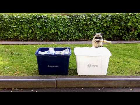 WATCH: A Pug Recycles, How Hard Can it Be?