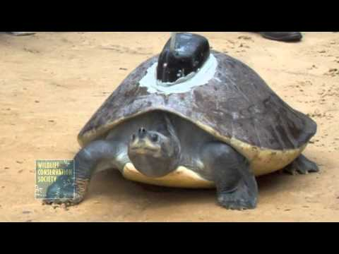 A Send Off for One of Cambodia's Rarest Turtles