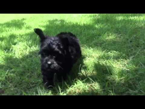 Baxter is a very tiny energetic, intelligent toy MaltiPoo
