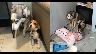 Best Funny Guilty Dogs Compilation New 2017 ✔Please Follow us on Instagram for more funny : https://goo.gl/OkrBvd
