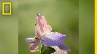 """وردة جميلة فى آسيا .. لكن الحقيقة """"حشرة"""""""