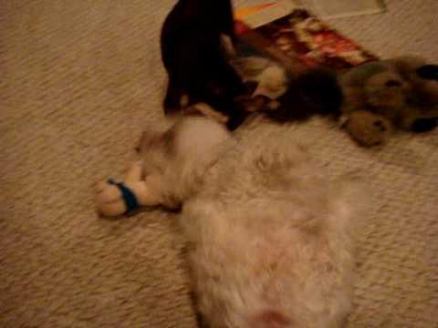 Bichon and Chihuahua