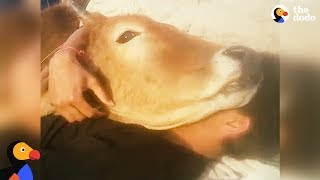 Cow Lies Down Guy For The Best Snuggle Session Ever | The Dodo by The Dodo