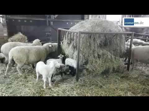 Junglandwirt: Linsmann: Schafzucht in der nächsten Gene ...