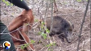 DRAMATIC Wild Boar Rescue From Snare | The Dodo