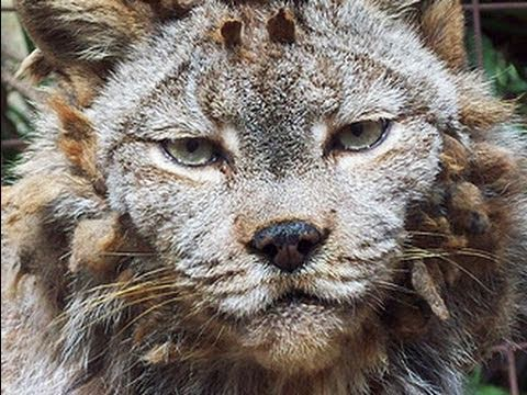 LYNX - Big Cat Rescue's resident Canadian Lynx gets rid of her bad hairdo! Watch our Canadian Lynx Species Spotlight here: http://www.youtube.com/watch?v=c4lO6cnkLt...