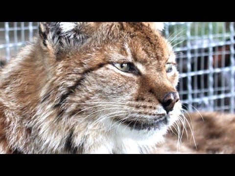 Tierschützer kämpfen um die letzten Balkanluchse
