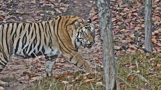 Bandhavgarh India  city pictures gallery : India 2015: Bandhavgarh National Park (Part 1)