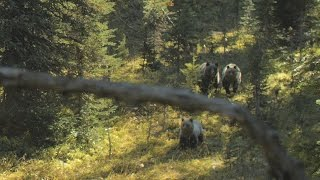 Video 3 Grizzly Charge in BC MP3, 3GP, MP4, WEBM, AVI, FLV September 2017