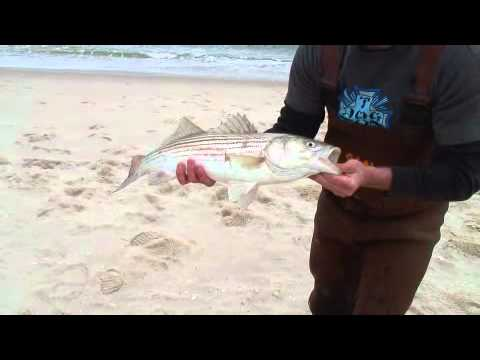 Bite Club – NJ Bluefish and Striped Bass Surf Fishing