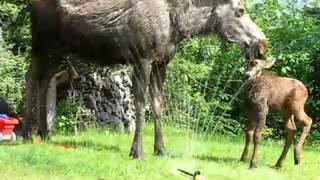moose in the garden!!