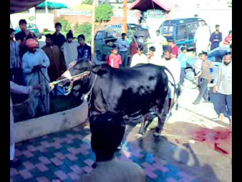 ONE BLACK  BULL OUT OFF CONTROL IN NORTH NAZMABAD BLOCK