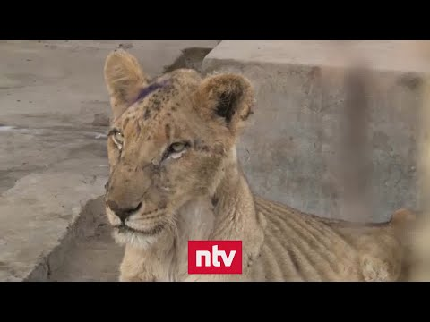 Karthum (Sudan): Zoo-Tiere verenden elendig | ntv