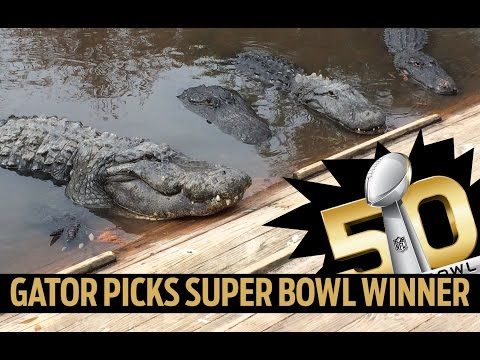 WATCH: Gatorland alligators predict Super Bowl Winner