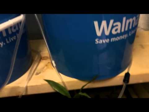 Breeding Betta Fish pt4