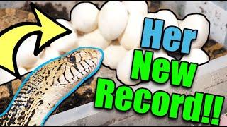 Video Our Bullsnake had a MASSIVE Clutch of Eggs! MP3, 3GP, MP4, WEBM, AVI, FLV Agustus 2019
