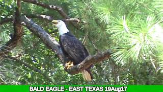 Bald Eagle - East Texas filmed on 19Aug17