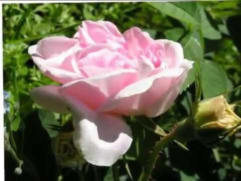 Бібліотека: Троянда – рослина