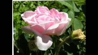 Троянда - рослина
