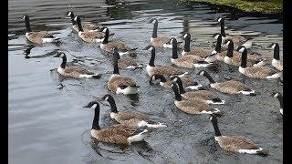 Canada Goose -Branta Canadensis - Feeding Lots of Canada Goose