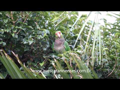 Papagaio-de-peito-roxo - Cristiano Voitina