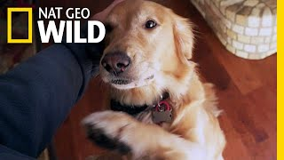 Will Your Dog Pick You Over a Stranger? | Nat Geo Wild by Nat Geo WILD