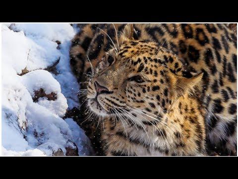 В Приморье рассказали о популяции дальневосточных леопардов - DomaVideo.Ru
