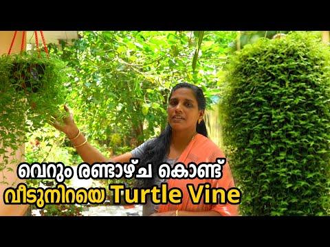 Turtle Vine Care & Gardening Tips in Malayalam   Fast Growing Hanging Plants