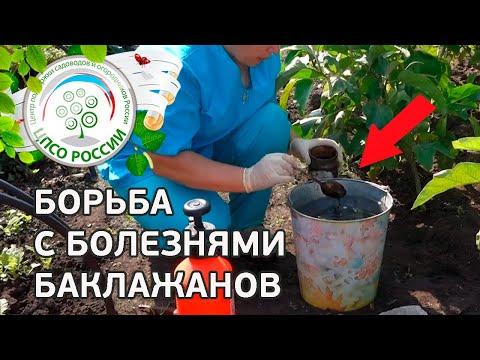 Борьба с болезнями баклажанов. Выращивание баклажанов.