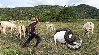 Video Wow ! Three Brave Boys Catch Big Snake During They looking Their Cows Near Village MP3, 3GP, MP4, WEBM, AVI, FLV Juli 2018