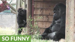 Video Grumpy Silverback Gorilla deals with super annoying son MP3, 3GP, MP4, WEBM, AVI, FLV Agustus 2019