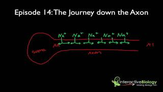 014 The Journey Down The Axon