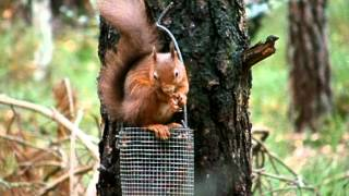 Carrbridge United Kingdom  city images : Red Squirrels (sciurus vulgaris) in the Caledonian pine forests at Carrbridge, near Aviemore