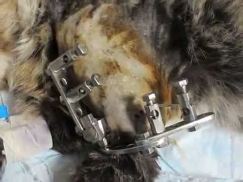 Перелом диафиза левой плечевой кости у кота