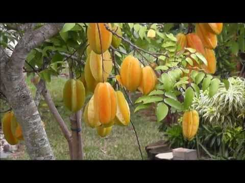 The Star Fruit Tree