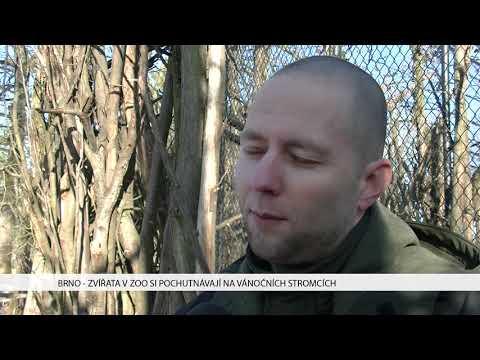 TV Brno 1: 4.1.2017 Zvířata v zoo si pochutnávají na vánočních stromcích.