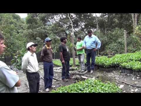 MUNICIPALIDAD DE MACHUPICCHU DISTRIBUYE MAS DE 10 MIL PLANTONES DE CAFÈ EN MICROCUENCAS DE VILCANOTA