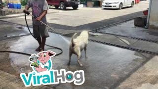 كلب ضال يستمتع بالاستحمام فى مغسلة سيارات