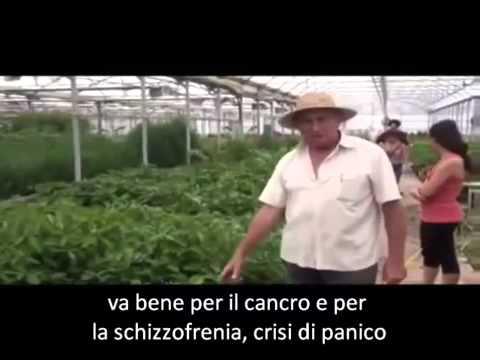piante che curano - kalanchoe
