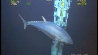 3. WORLD RECORD FISH!!! 18ft Tuna!  ROV Deepwater Footage Bluefin Yellowfin Redfish