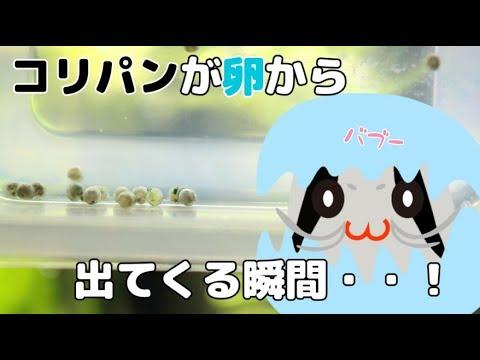 【アクアリウム】コリドラスパンダが産まれる瞬間【コリドラスパンダ】