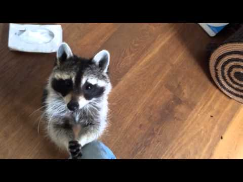 Pet Raccoon Fetches Tissue When Owner Sneezes