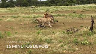I was lucky to see two lions mating at 6am in Etosha Park, in Namibia. Stay tuned for other safari, lodges and flights experiences in Africa. New videos on ...