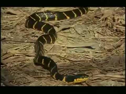 BRAZIL - Cobra Naja comendo outra cobra