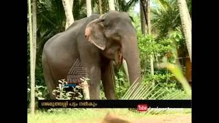 87 Year old Kerala tusker aims Guinness book