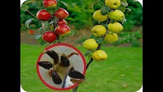 Video easy Way How to grow An pple tree from seed 2 MP3, 3GP, MP4, WEBM, AVI, FLV September 2019
